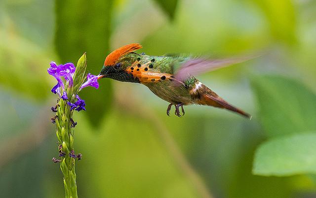 tufted coquette hummingbird asa wright nature center trinidad