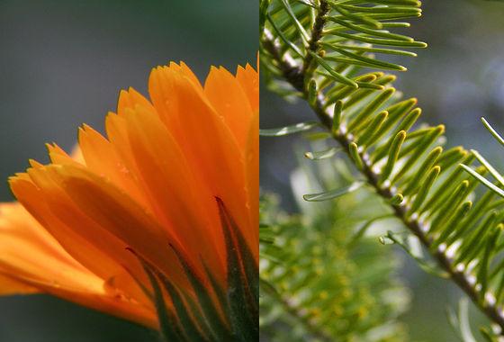 calendula-and-pine
