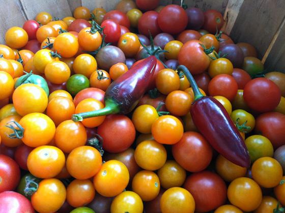 GHF Tomato on EcoChick 560