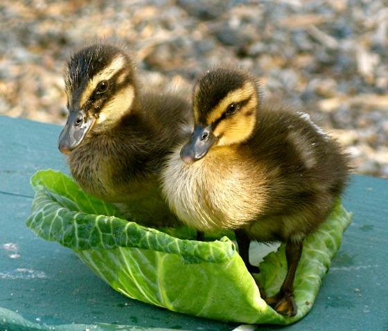 DuckRescue1