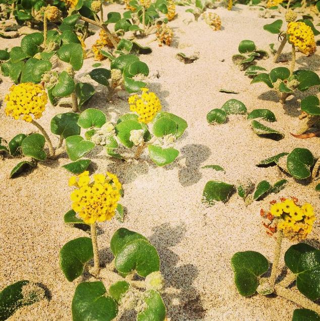 Cape-Lookout-Beach-Flowers-Succulents