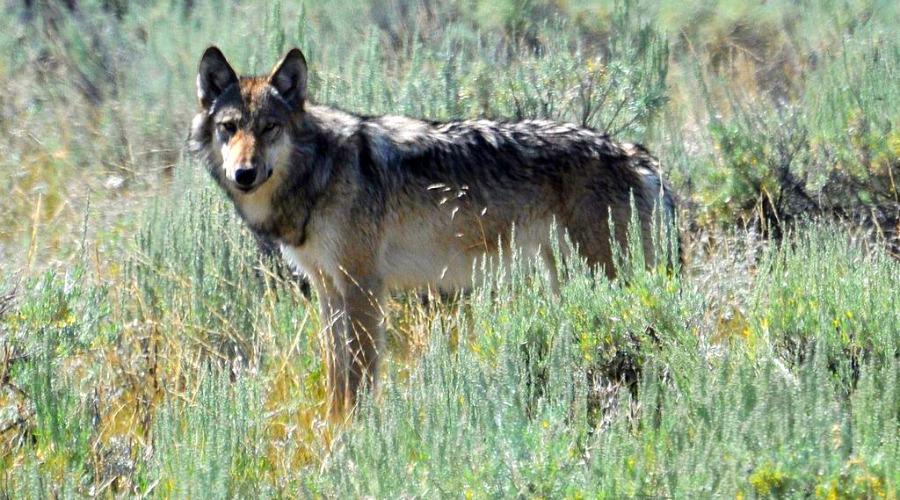 Yellowstone Wolf Main
