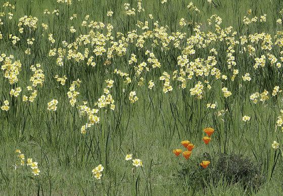 poppy daffodils