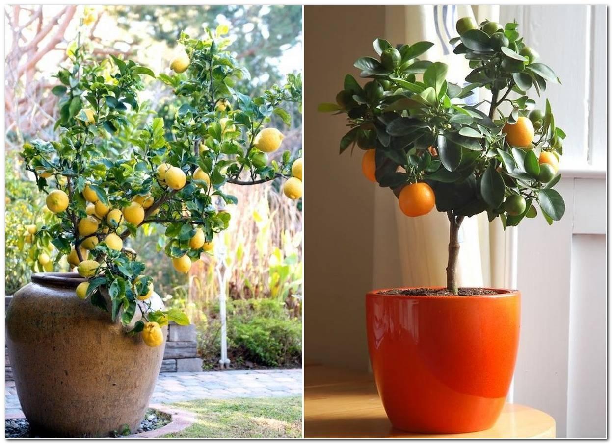 Árvores Frutíferas Em Vaso Espécies E Dicas De Como Cuidar
