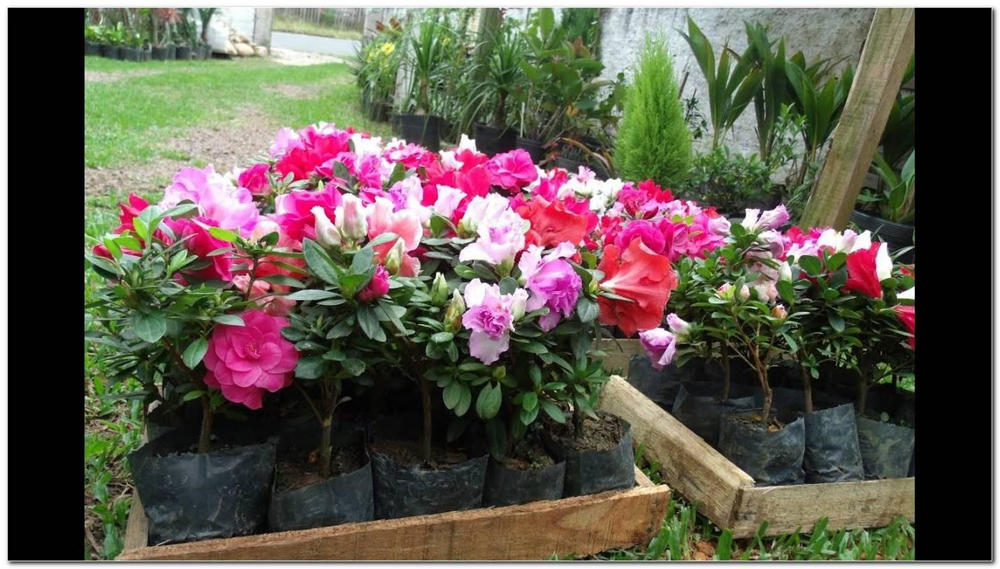 Como Cuidar De Azaleia Dicas Para Plantar No Ambiente Interno E Externo