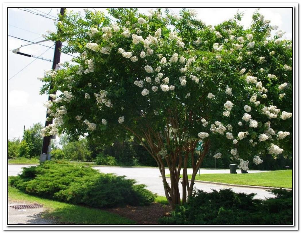 FastGrowing Shade Trees That Make A Statement