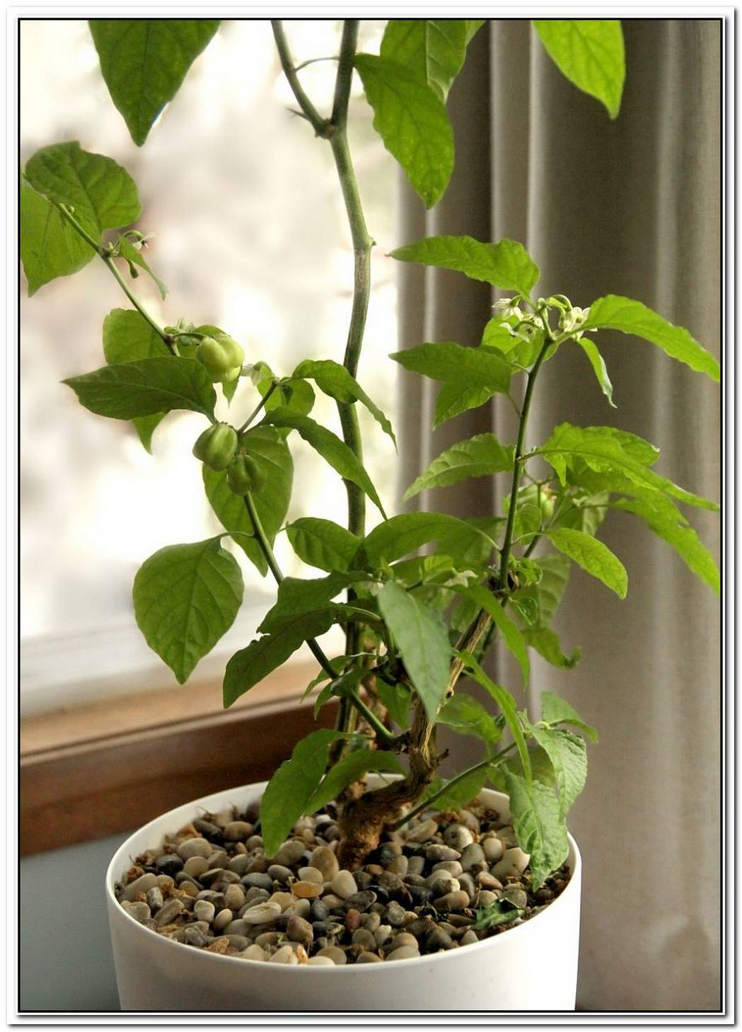 Houseplants 101 Growing Your Own Chilies Indoors
