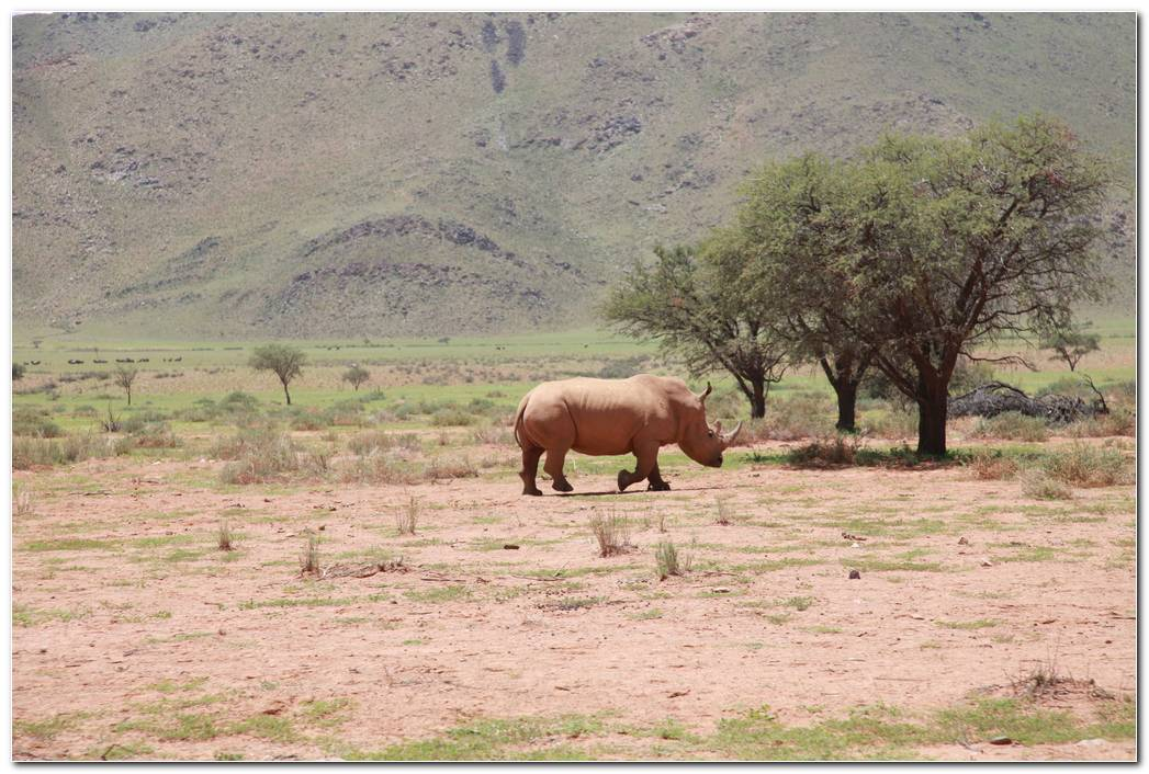 Africa Rhino Animal Wallpaper