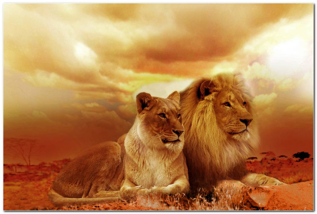 African Lion Animal Wallpaper Background