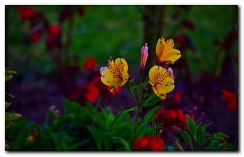 Alstroemeria Plants HD Wallpaper