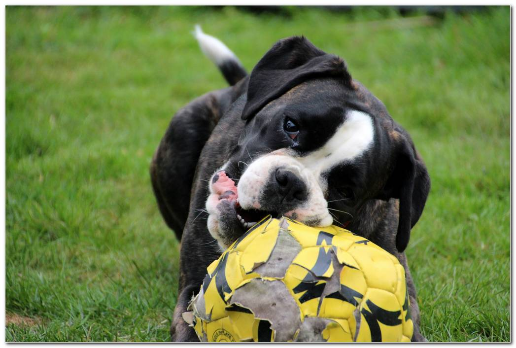 Animal Dog Wallpaper  Muzzle Background  Ball