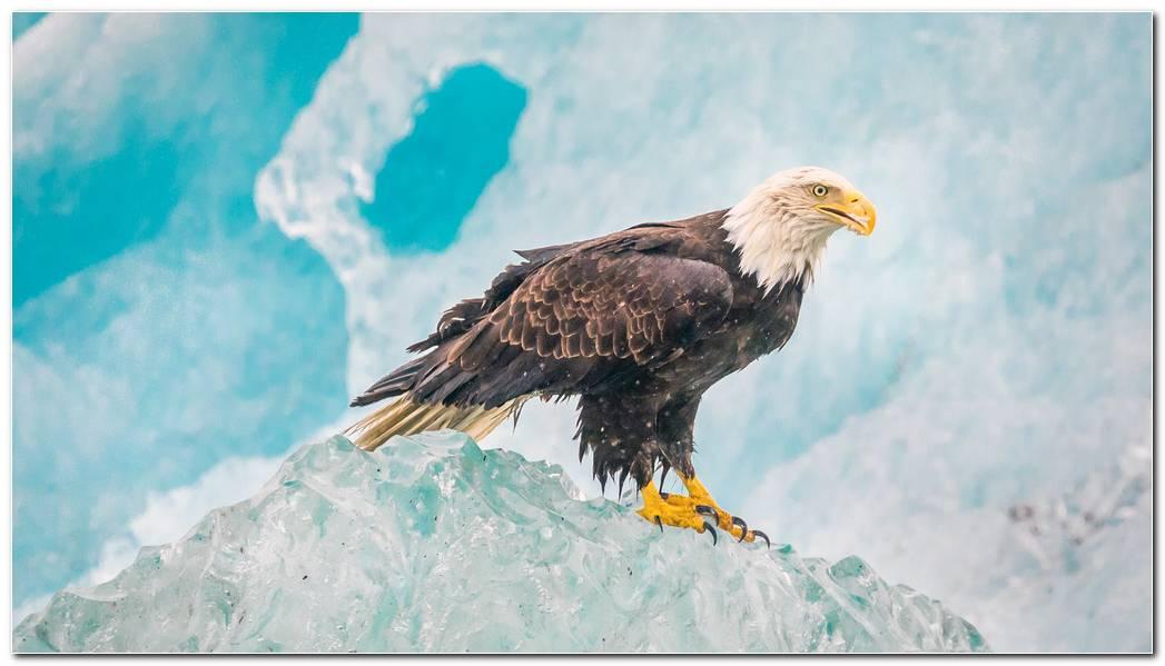 Animal Eagle Wallpaper  Bird Background  Predator