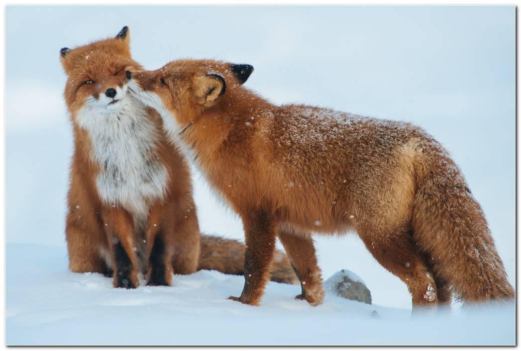 Animal Fox Wallpaper  Couple Background  Snow