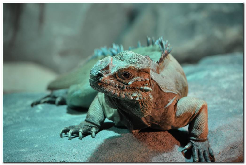 Animal Iguana Wallpaper Lizard Background Reptile