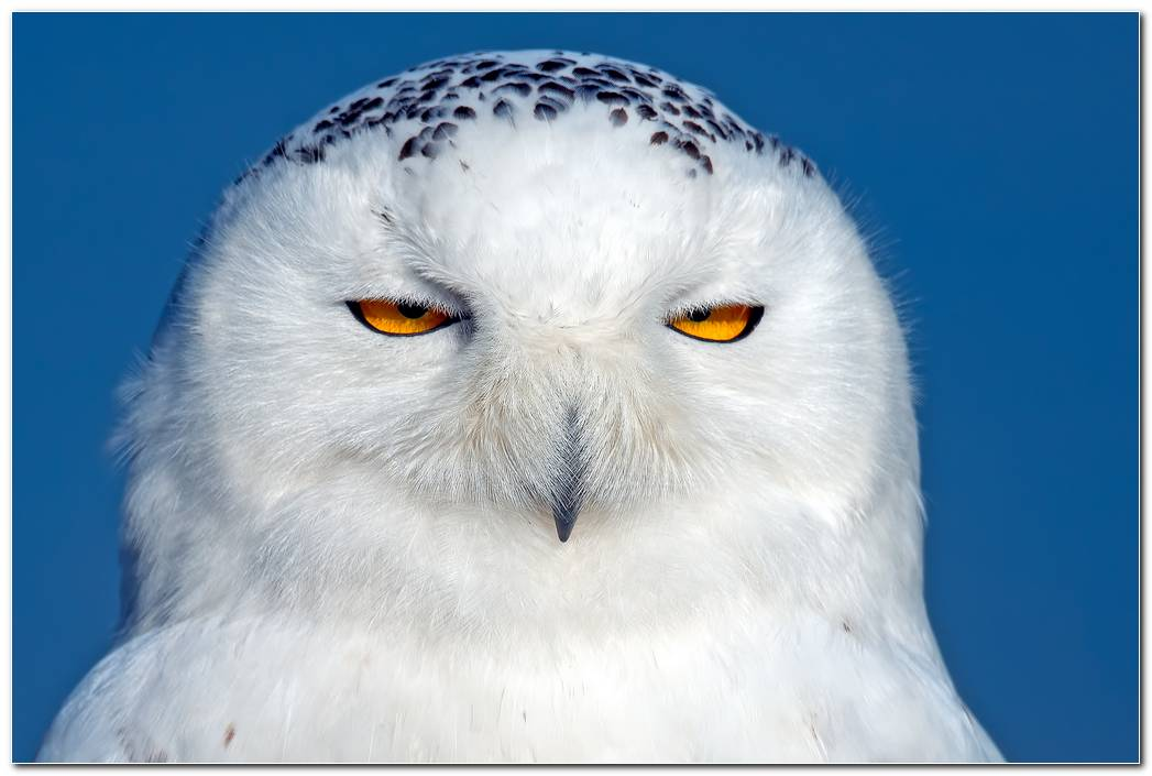 Animal Owl Wallpaper Snowy Owl Background Bird