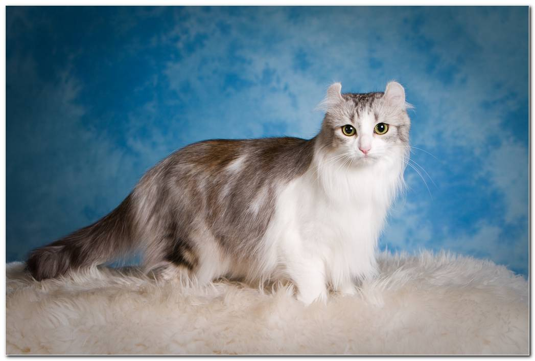 Animal Wallpaper American Curl Cat Fluffy