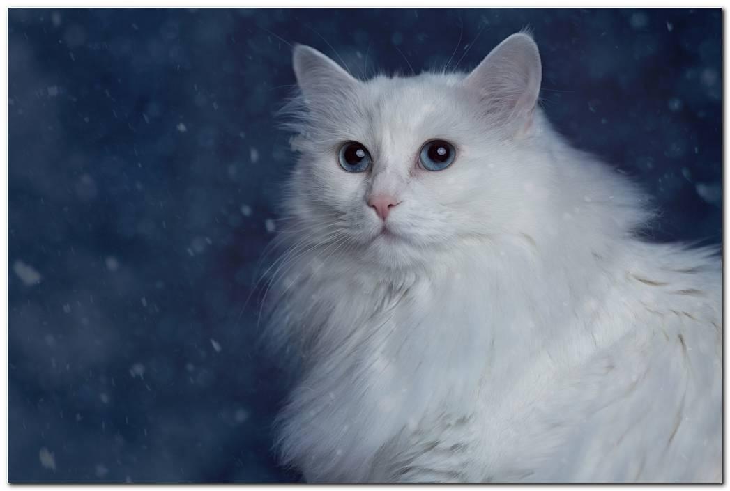 Animal Wallpaper Background Cat