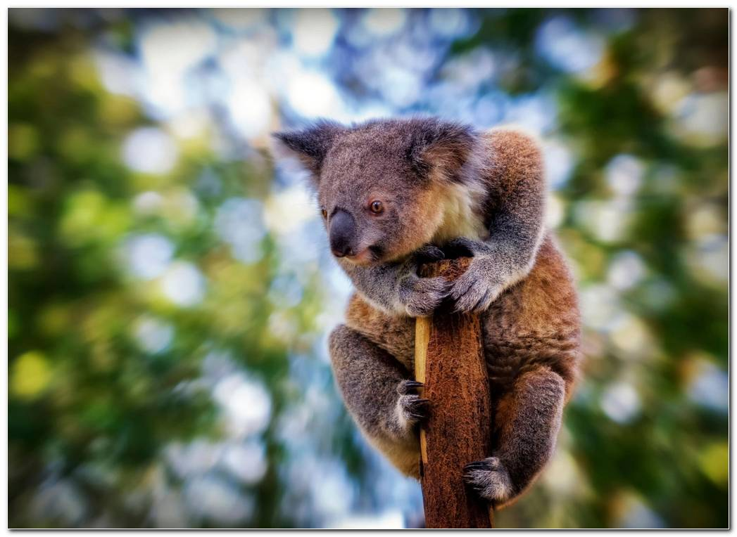 Animal Wallpaper Background Koala Wallpaper  Blur Background  Beast