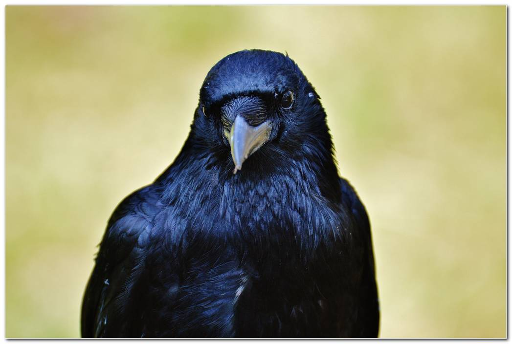 Animal Wallpaper Background Raven Wallpaper  Bird Background  Beak
