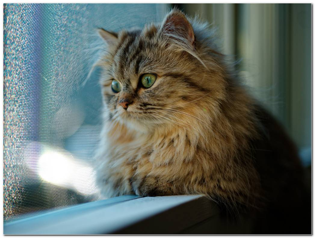 Animal Wallpaper Cat Looking Windows