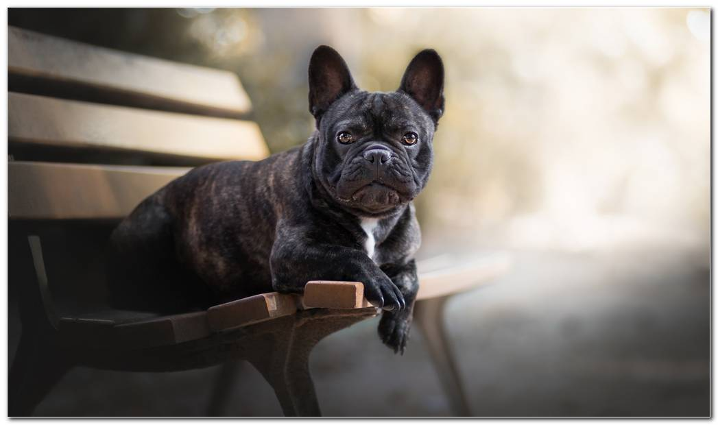 Animal Wallpaper French Bulldog