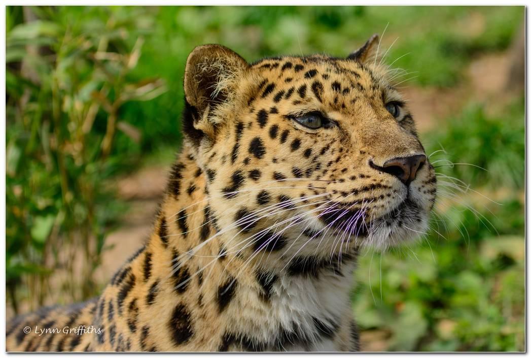 Animal Wallpaper Leopard Image