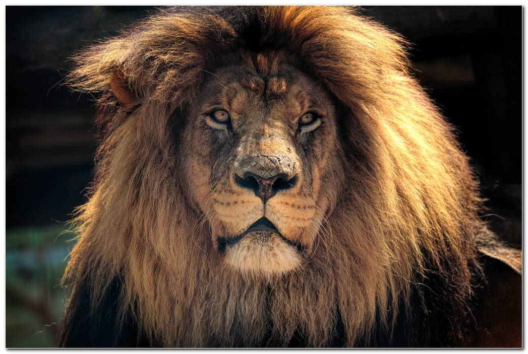 Animal Wallpaper Lion
