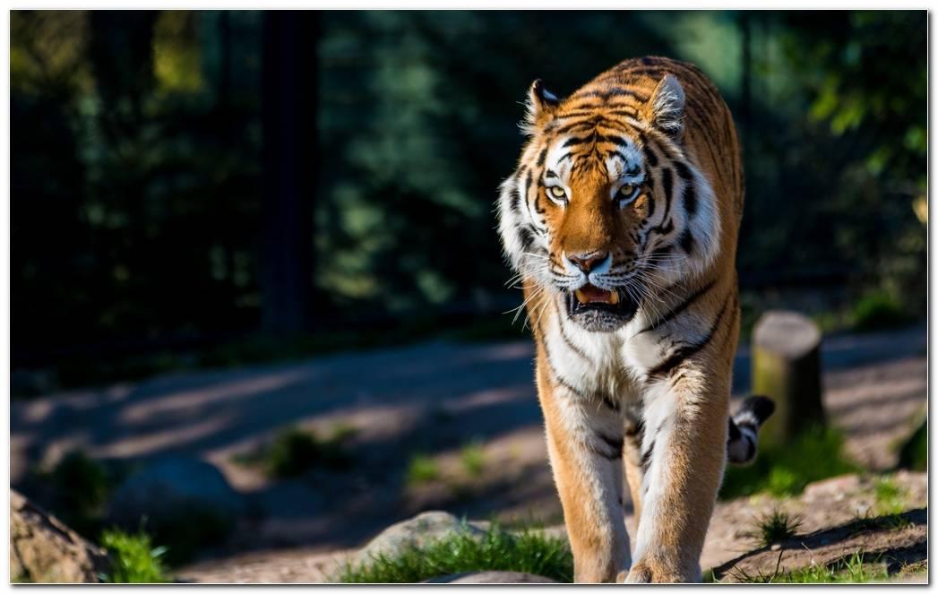 Animal Wallpaper Tiger Wild Cat Predator