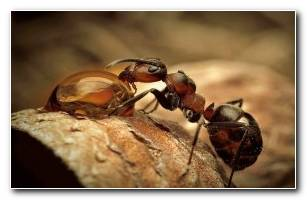 Ant Insect Wallpaper