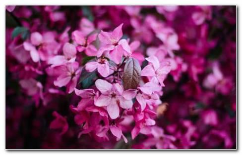 Azalea Pink Flowers Garden