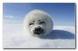 Baby Seal HD Wide Wallpaper