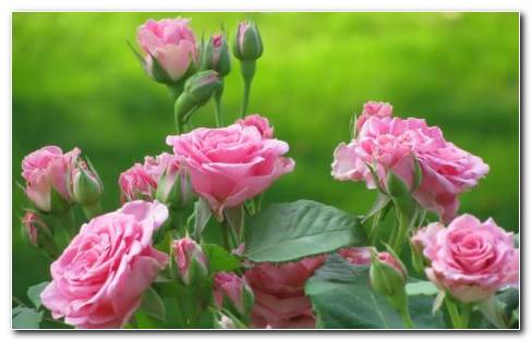Beautiful Pink Roses HD Wallpaper