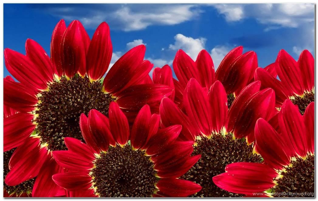 Beautiful Sunflower Nature Wallpaper Desktop Image Background