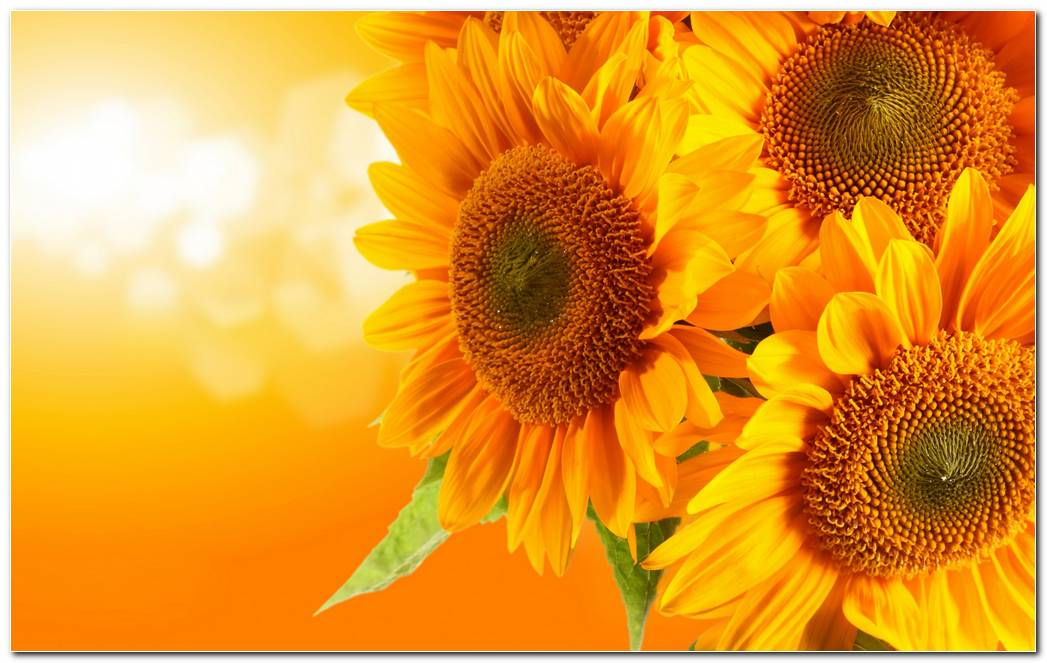 Best Sunflower Nature Wallpaper Background
