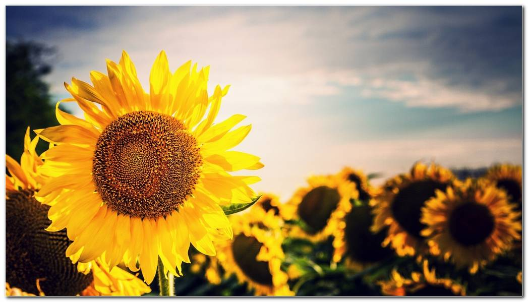 Best Sunflower Nature Wallpaper Wide Background