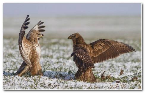 Birds Falcon Wings Battle Snow Winter Wallpaper