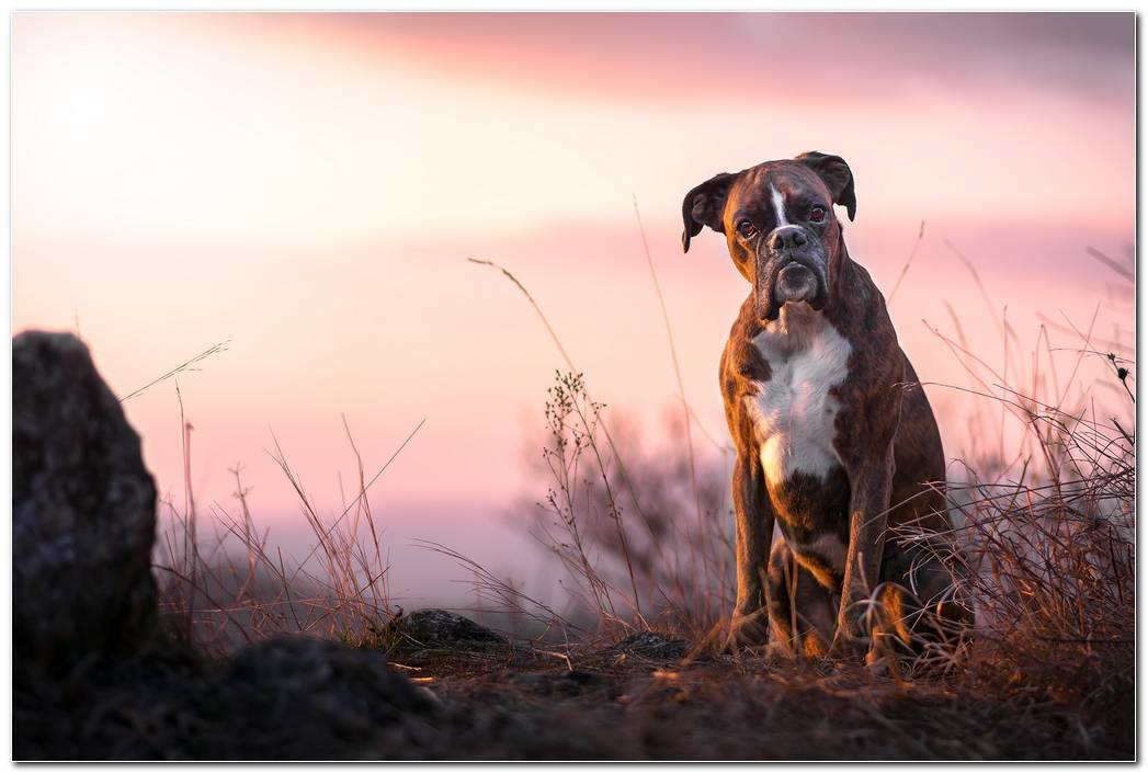 Boxer Dog Animal Wallpaper Background