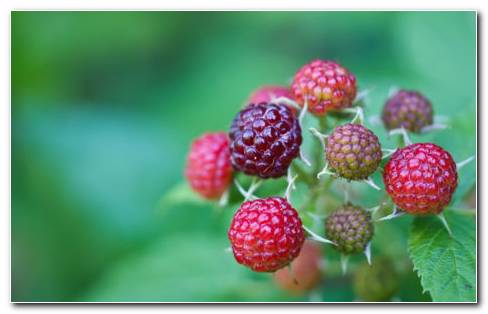 Branch Of Raspberries HD Wallpaper