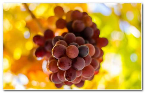 Bunch Of Juicy Grapes HD Wallpaper