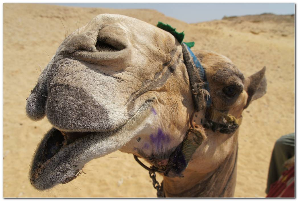 Camel Face Animal Wallpaper