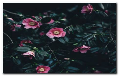 Camellia Flowers HD Wallpaper