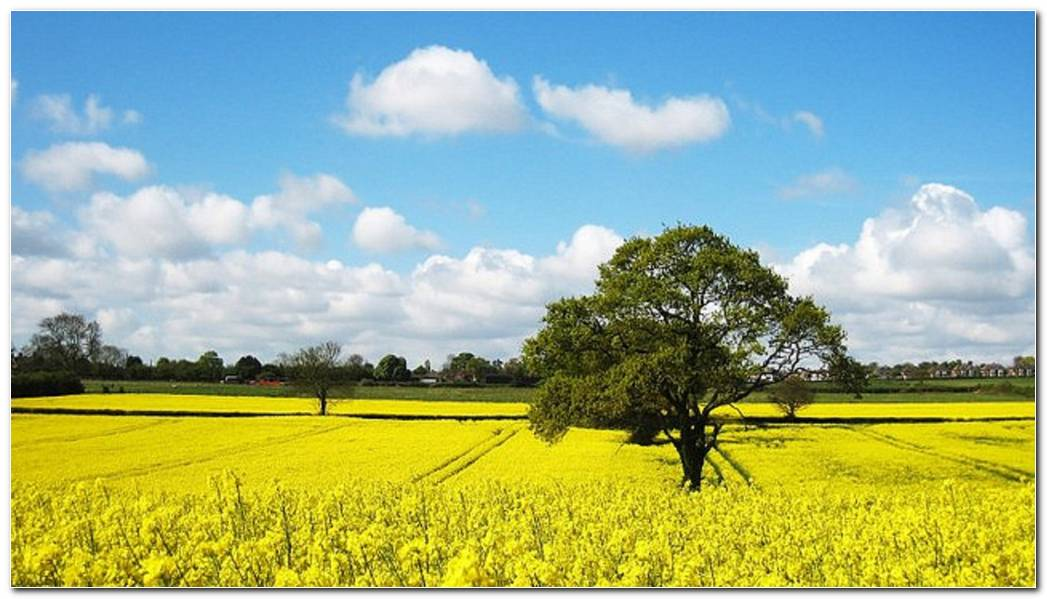 Canola Field Wallpapers