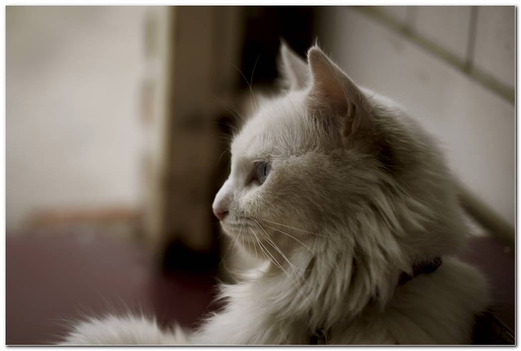 Cat Animal Wallpaper Desktop Image