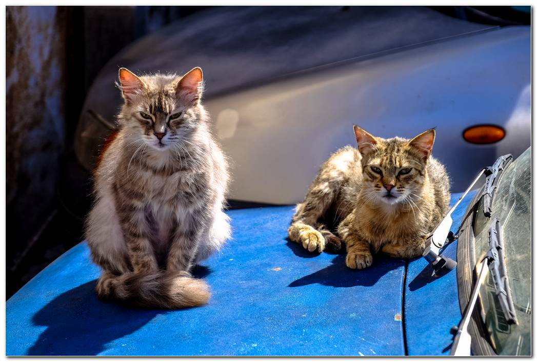 Cat Animal Wallpaper Free