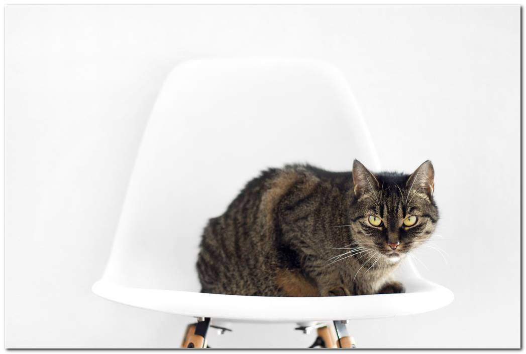 Cat Chair Animal Wallpaper