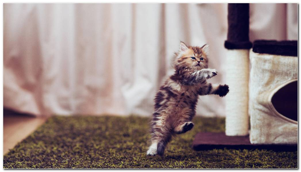 Cat Jumping Animal Wallpaper