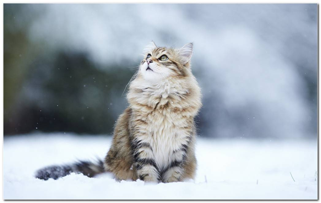 Cat Snow Eyes Animal Wallpaper