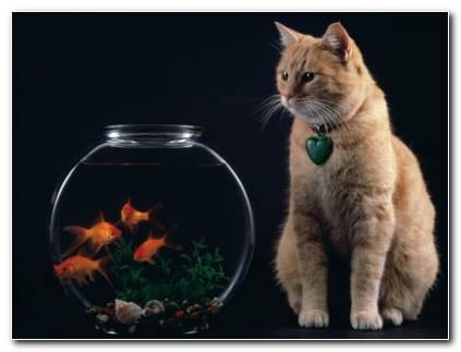 Cat And Goldifsh Wallpaper