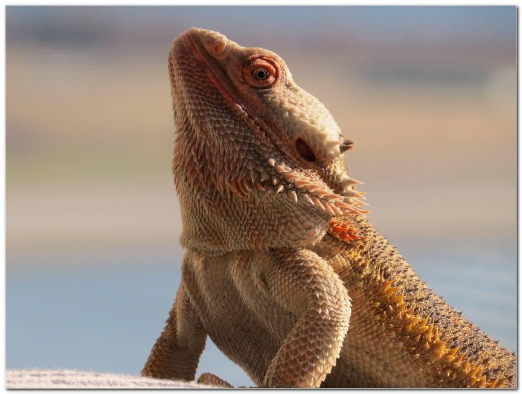 Central Bearded Dragon Lizard Animal Wallpaper