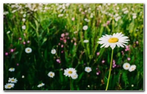 Chamomile Garden HD Wallpaper